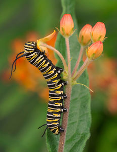 Monarch caterpillar eating Butterfly Milkweed