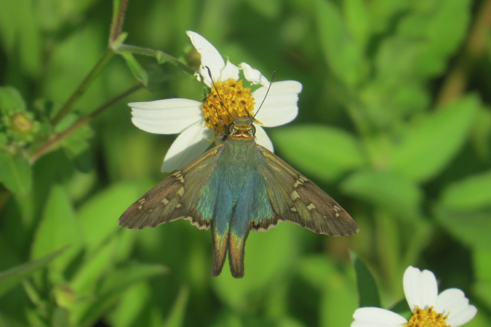 Long-tailed Skipper (Urbanus proteus)