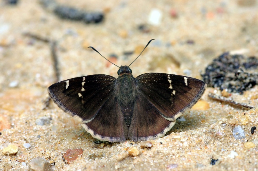 Southern Cloudywing (Thorybes bathyllus)