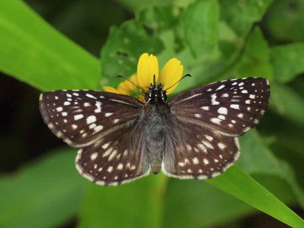Tropical Checkered-Skipper (Pyrgus oileus)