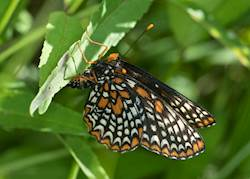 Baltimore Checkerspot (ovipositing)