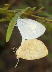 Barred Yellow (Mating Pair, Ventral)