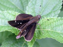 Clouded Skipper (Dorsal, Female)