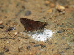 Clouded Skipper (Ventral, Male)