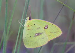 Cloudless Sulphur (Ventral, Female)