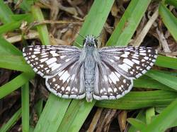 Common Checkered-Skipper / White Checkered-Skipper