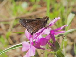 Dusted Skipper (Ventral)