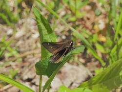 Dusted Skipper (Dorsal)