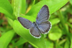 Eastern Tailed-Blue (Dorsal, Male)