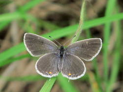 Eastern Tailed-Blue (Dorsal, Female)