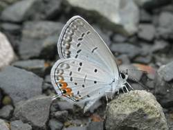Eastern Tailed-Blue (Ventral)