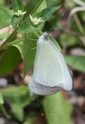 Great Southern White (Mating)
