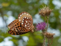 Great Spangled Fritillary (Ventral)