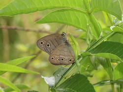 Little Wood Satyr (Ventral, Male, Female)