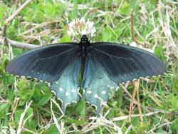 Pipevine Swallowtail (Dorsal, Male)