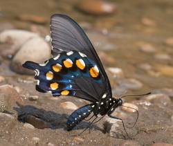 Pipevine Swallowtail (Ventral)