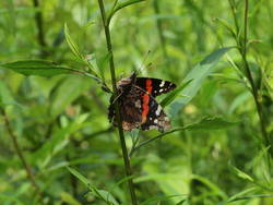 Red Admiral (Ventral, Female, Ovipositing)