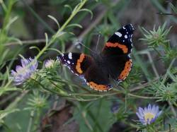 Red Admiral (Dorsal)