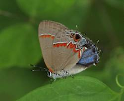 Red-banded Hairstreak (Ventral)