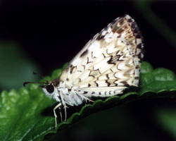 Tropical Checkered-Skipper (Ventral, Male)