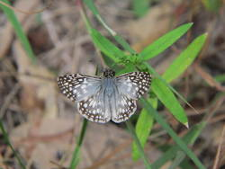 Tropical Checkered-Skipper (Dorsal, Male)