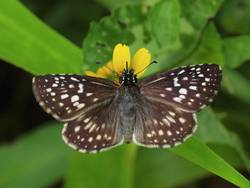 Tropical Checkered-Skipper (Dorsal, Female)