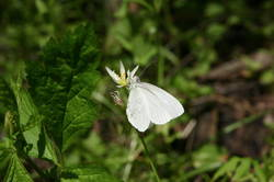 West Virginia White (Ventral)