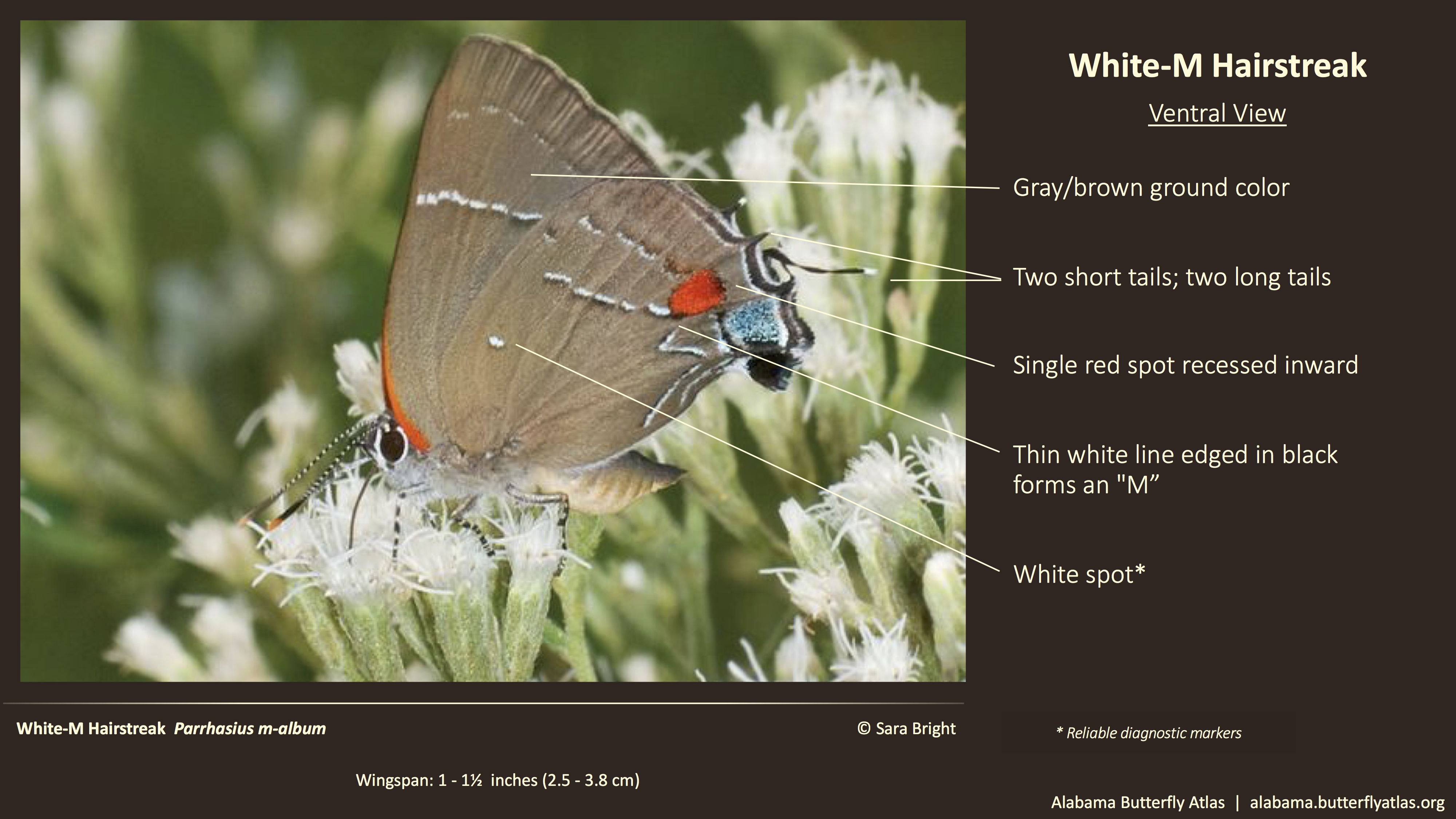 Butterfly ID Thumbnail